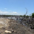 what does garbage do to the mangrove plants
