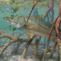 mangroves fish healthy